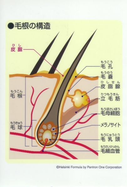毛根の構造